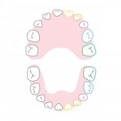 Схема за никнене и падане на зъбите